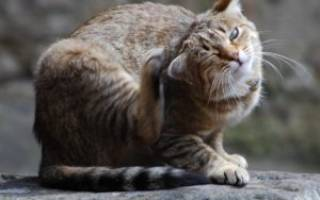 Воспаление уха у кота лечение