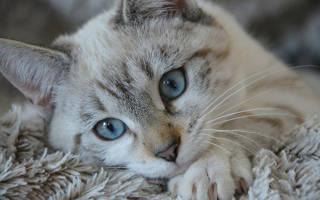 Лечение струвитов у кошек