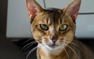 Кошка чешет уши лечение