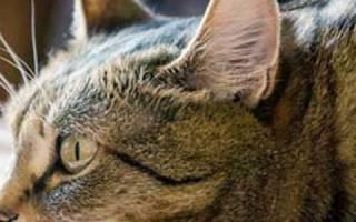 Энцефалит у кошек лечение
