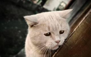 Кожный клещ у кошки симптомы лечение