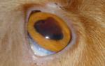 Кровь в глазу у кошки лечение