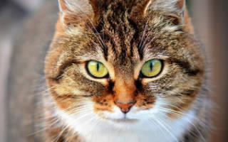 Кот кровь в кале лечение