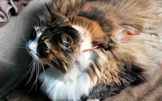 Лечение панкреатита у кошек в домашних условиях