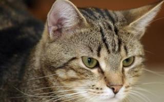 Выделения у кошки из петли как лечить
