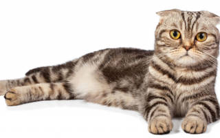 Шотландский вислоухий кот характер и уход