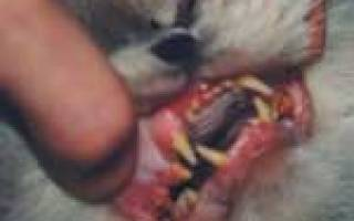Кальцивирусная инфекция кошек лечение