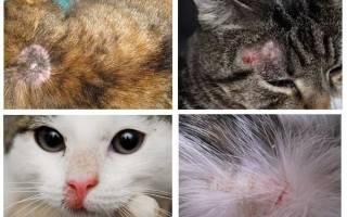 Микоз у кошек лечение
