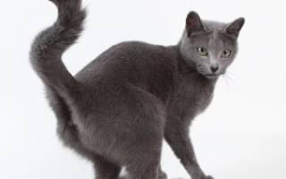 Парапроктит у кошки симптомы и лечение