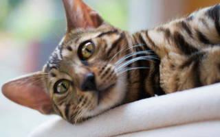 Как лечить сердечную недостаточность у кошек