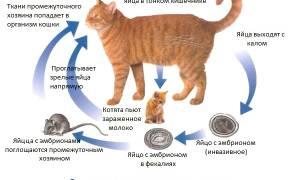 Гельминты у кошек симптомы и лечение