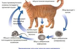 Глисты у кота симптомы лечение