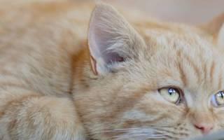 Лечение энцефалопатии у кошек