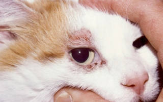 Болезни кошек клещи подкожные