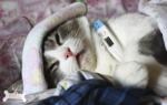 Лечение аллергического ринита у кошек
