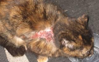 Экзема у котов лечение в домашних условиях