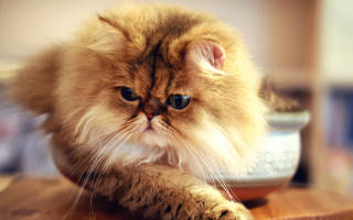 Власоед у кошек симптомы и лечение
