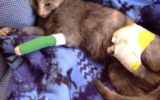 Травма у кошки лечение