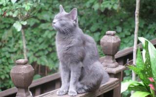 Токсокары у кошек лечение