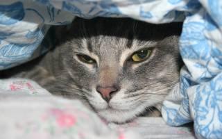 Гепатит у кошек симптомы лечение