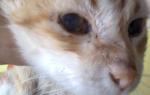 Как лечить щеку у кота