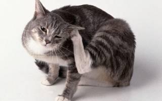 Как выглядит ушной клещ у кошек лечение