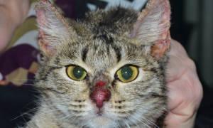 Дерматит у кота лечение в домашних условиях