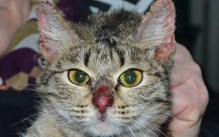 Лечение дерматоза у кошек