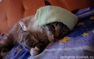 Лечение пневмонии у кошек в домашних условиях