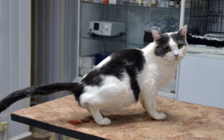Моча с кровью у кота кастрированного лечение