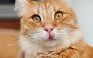 Лимфома у кошек симптомы и лечение