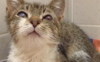 У кота опух глаз чем лечить
