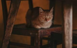 Коронавирусный гастроэнтерит у кошек лечение