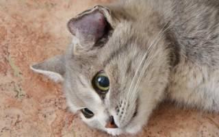 Отогематома у кота лечение