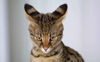 Болезнь ушей у кошек лечение