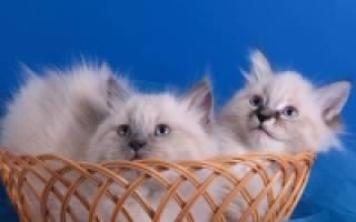 Невские кошки уход