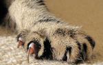 Болезни когтей у кошек