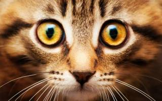 Болезни глаз у котов признаки