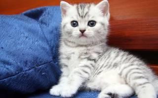 Британский кот уход и содержание