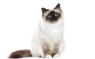 Кошка чешется чем лечить