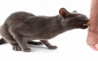 Укус кошки лечение в домашних условиях