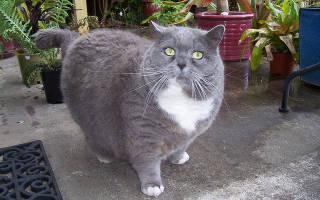 Ожирение у кошки причины лечение