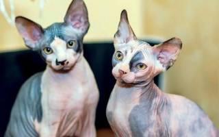 Кошки сфинксы лечат