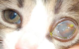 Лечение кератита глаза у кошек