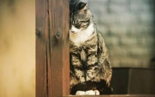 Лечение панкреатита у кошек лекарства