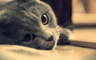 Эклампсия у кошек лечение в домашних условиях