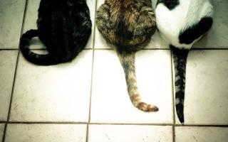 Перелом хвоста у кошки лечение