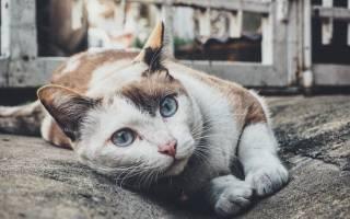 Лейкемия у кошек лечение