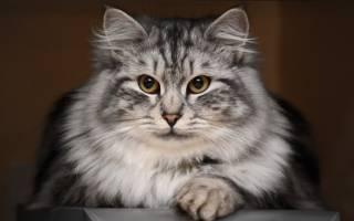 Отрубевидный лишай у кошек лечение