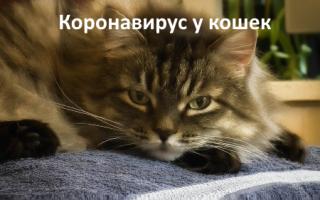 Короновирусная инфекция у кошек чем лечить